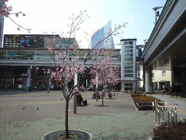 桜ほころぶ