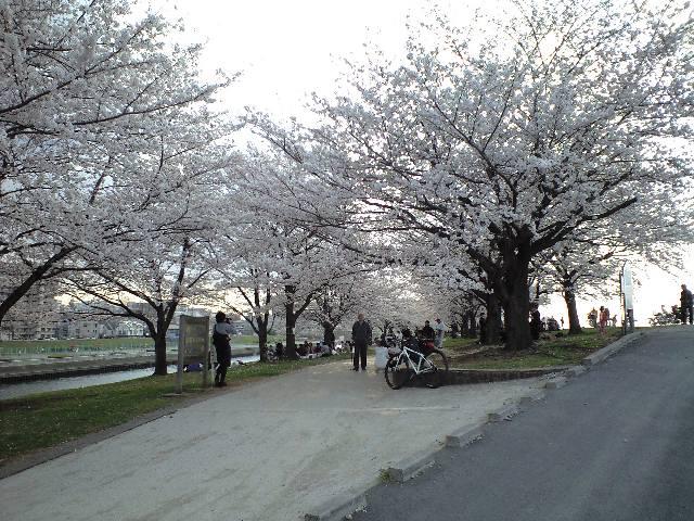 荒川大橋の桜