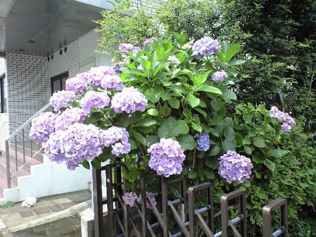 色々な紫陽花